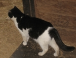 Stepping Stone barn cat