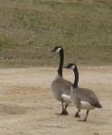 GKP  ssf geese