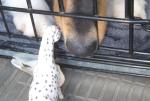 SP dog show Hal nose 2