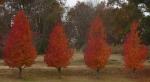 Rodney's Saga trees nov 2013