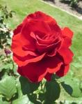 BBG rose