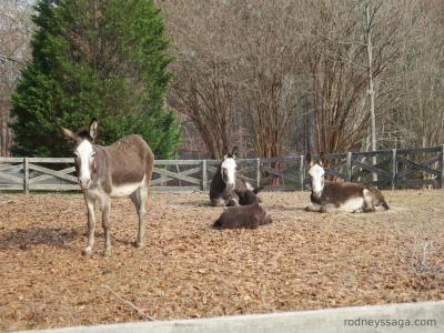 donkeys 12 3 2014