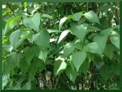 NH leaves