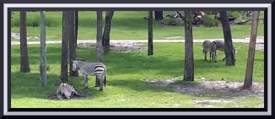Resting Zebras Disney's Animal Kingdom | Walt Disney World Resort Photo by Michelle Duplichien
