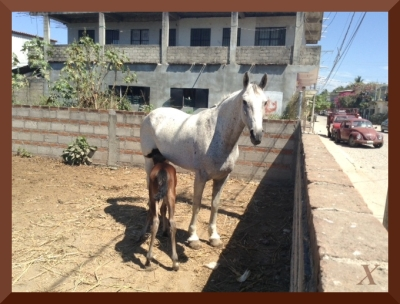 Mexican mare & foal 3