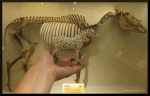 rodneys-saga-sp-equus-skeleton-updated