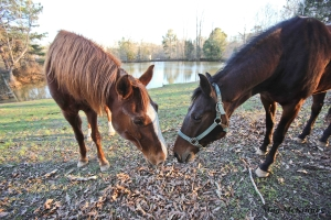 Horses meet and greet by sniffing noses. Standing this close and straight on, they probably can't see each other's faces, because of their wide set eyes, but they can still watch for potential predators ahead and behind them.